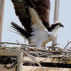 Osprey_watch_osprey_male_in__nest_2__sharon_fine