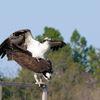 Osprey_watch.org_sharon_fine