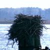 Pungo_ferry_osprey_002