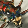 Tiger_beetle
