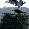 Pungo_ferry_osprey_087
