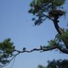 July_2008_ospreys___nest