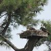 2011_july_3_osprey___brood_prior_to_storm_1869