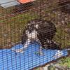 2011_july_4_fallen_osprey_chick_1905