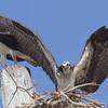 Osprey_landing_
