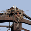 2_osprey_on_nest_1_cr