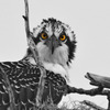B-osprey_8751-3