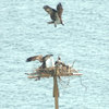 Protectingfromanotherosprey