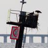 4-26-13_channel_marker_5_osprey_nest