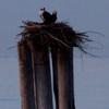 4-5-13_timber_pile_osprey_nest