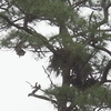 4060-osprey_bringing_stick_to_nest-nicks_dscn0206