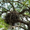 2688-osprey_nest-longcove-11th_green_1