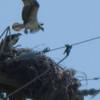 Osprey_2