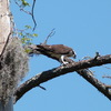 2668-osprey_eating_fish_near_nest-legomutton