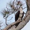 2544-ospreysnesting-goodrich_1