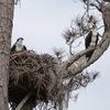 2544-ospreysnesting-goodrich_2