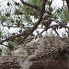 2543-osprey_in_nest-ladson_1