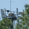2509-osprey_nest-palmmeadowsvillage-2011