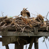 Osprey_3024_sandy_hook_2_cr