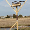 Osprey_herring_island_north