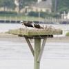 Osprey_lynnhaven_river_2013_026