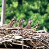 P2040954_cropped_auto_cor_unmask_sharp_osprey_watch_6-11-13_doc_large_email