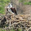 Osprey_queen's_lake_nest_676__female_3-2-17