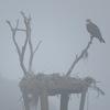 Osprey_nest_in_the_fog