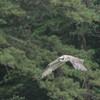 Osprey_banding_lynnhaven_2013_107