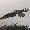 Osprey_banding_lynnhaven_2013_119