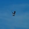 Osprey_search