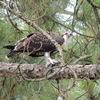 4113-ospreynest-fledgling-palmettohall_dscn7553