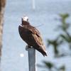Osprey_nest_-_jett_2103_003