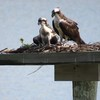 Osprey_nest_-_jett_2103_011