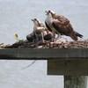 Osprey_nest_-_jett_2103_016