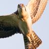 Ospreyavatar
