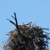 76_-_osprey