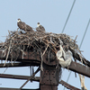 Laurel_hill_july_2013_3_osprey_chics_cr