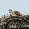 3_osprey_sandy_hook_bird_obs_nest_1_cr