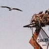 Holgateospreys2