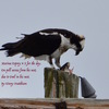 Marina_osprey_on_poll_due_to_owl_in_his_nest.__