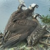 Osprey_chicks_shade_2