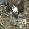 Osprey_chicks_1