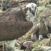 Osprey_chicks_5