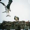 Ospreys-1