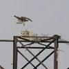 Eagles_osprey_hb_03122014_019_(2)
