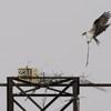 Eagles_osprey_hb_03122014_033_(2)