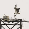 Eagles_osprey_hb_03122014_096_(2)