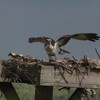 0910_mom_osprey_returns_to_nest_after_banding_7-12-13