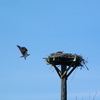Ospreys_finallty_ospreys_014